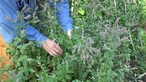 Gardener herbalist picking flowering mint, 4K Footage