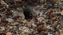 Ants entering and exiting their nest Live Action