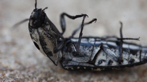 Click Beetle macro video Footage