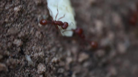 Extreme macro of two Red Harvester Ants attempting to carry food Live Action