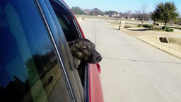 Dog sticking head out of car window Live Action