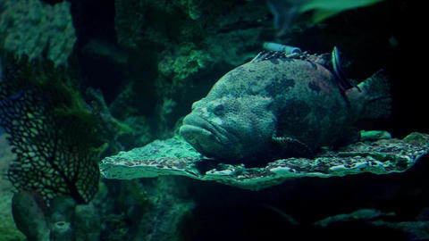 Sea Monster Grouper stock footage