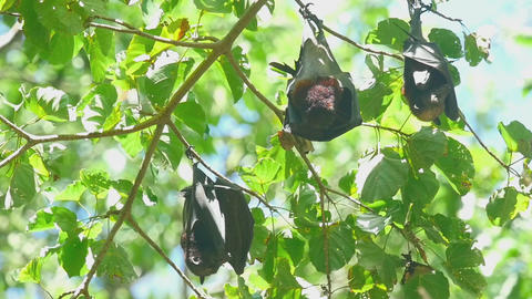 Flying foxes rest Footage