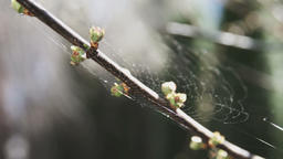 Spring buds on branch of tree Footage