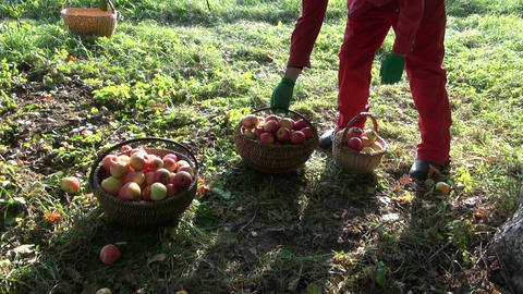Gardener placing apples in three wicker baskets full of apples by the apple tree Footage