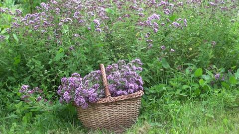 Oregano in wicker basket in garden Live Action