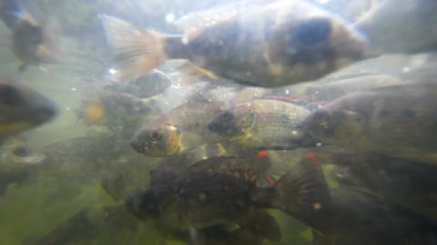 A flock of fish in troubled waters Footage