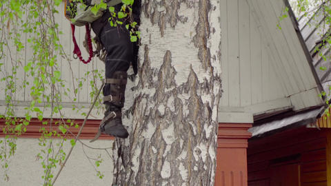 Arborist rises to the birch Footage