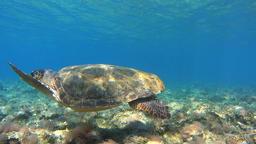 Underwater, follow sea turtle Footage