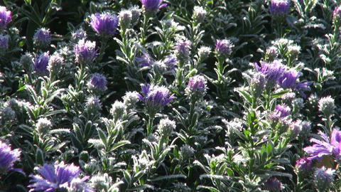 Frost covered asters Footage