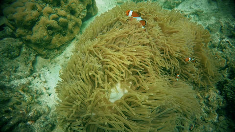 clown fish in anemone, Andaman sea Phuket Thailand Footage