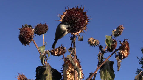 Marsh tit and Great tit flying eating and perching on sunflower Footage