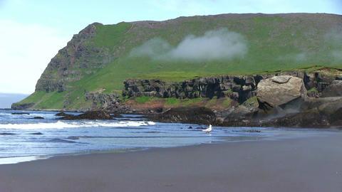Seagull On Black Sand Beach Footage