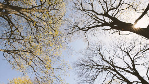 Spring forest looking up at tree tops from low angle view. Sunny day with blue s Footage