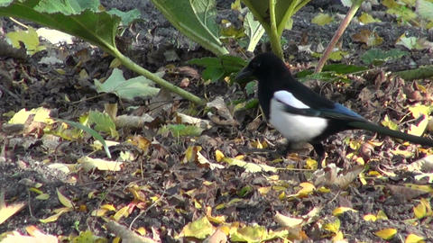 European Magpie running in the garden Footage
