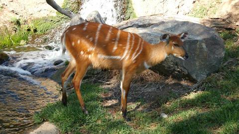 Video of roe deer Footage