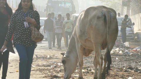 New Delhi Road Rubbish Cows 4k Footage