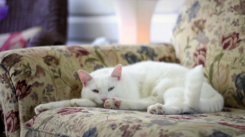 Fluffy adorable white kitten resting on floral couch in breezeway Live Action