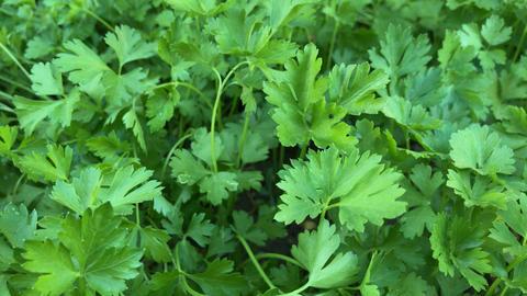 Fresh parsley Footage