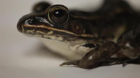 Leopard Frog macro Footage