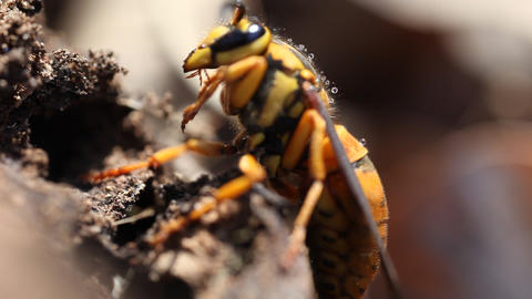 Extreme macro video of a hornet Footage
