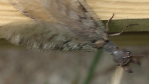 Dobson Fly - Hellgrammite stock footage