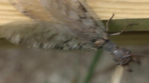 Dobson Fly - hellgrammite Footage