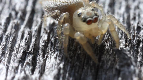 White Jumping Spider Footage