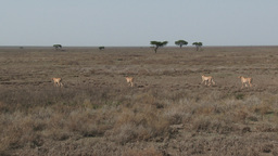 Cheetah's walking over the Serengeti plains Footage