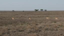 Cheetah's walking over the Serengeti plains Footage