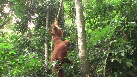 two monkeys hanging in tree Footage