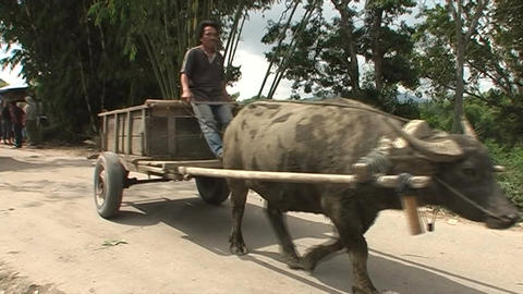 Man on cow car on dirty road Live Action