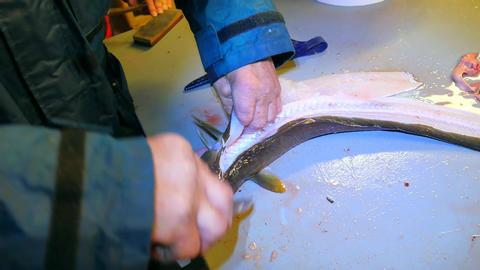 Hands of worker gutting Common ling, the ling fish (Molva molva). A operator wea ビデオ