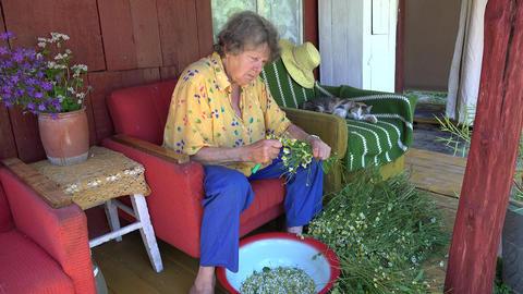 herbalist grandmother pick camomile flower blooms and tabby cat sleep. 4K Footage