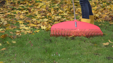 Raking fallen colorful leaves with rake tool in autumn garden. 4K Footage