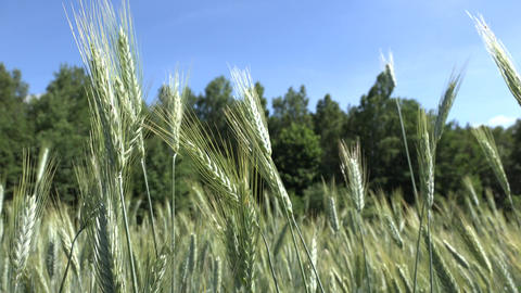 wheat barley ears move in wind in agriculture field near forest Footage