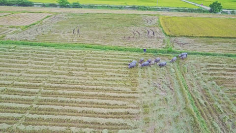 Drone Removes Far from Buffaloes Herd on Ploughed Field Footage