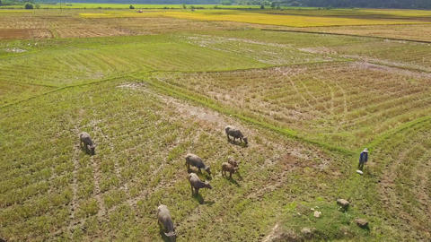 Drone Flies Close above Buffaloes on Field Cowboy Watches Footage