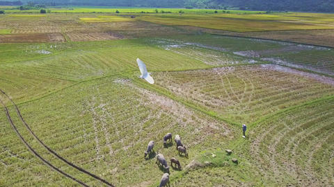 Flycam Shows Buffaloes on Rice Field Bird Flies Past Footage