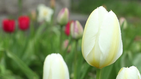 White Tulips Camara motion close to Footage