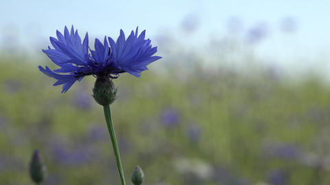 Wild cornflower grow in field scene with shallow depth of field. 4K Live Action