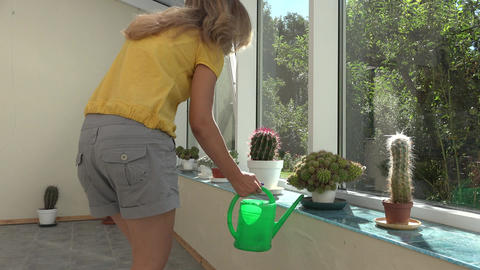 Gardener woman watering cactus plant with green watering can in conservatory. 4K Footage