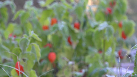 Orange husk tomato plants covered with hoar frost. Focus in. 4K Footage