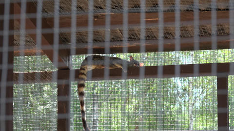 common genet genetta animal lie high on zoo cage. Zoom out Footage