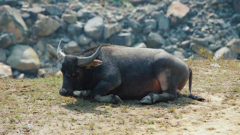 Asian buffalo having rest on terraced mountains Footage