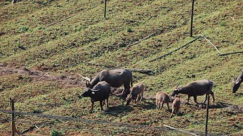 Asian buffalo grazing Footage