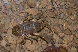Stone crayfish (Austropotamobius torrentium) Photo