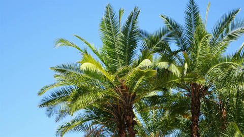 Palm trees on the blue sky in 4K Footage