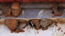Swallows flying to their nests Footage