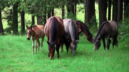 Wild horse grazing 영상물